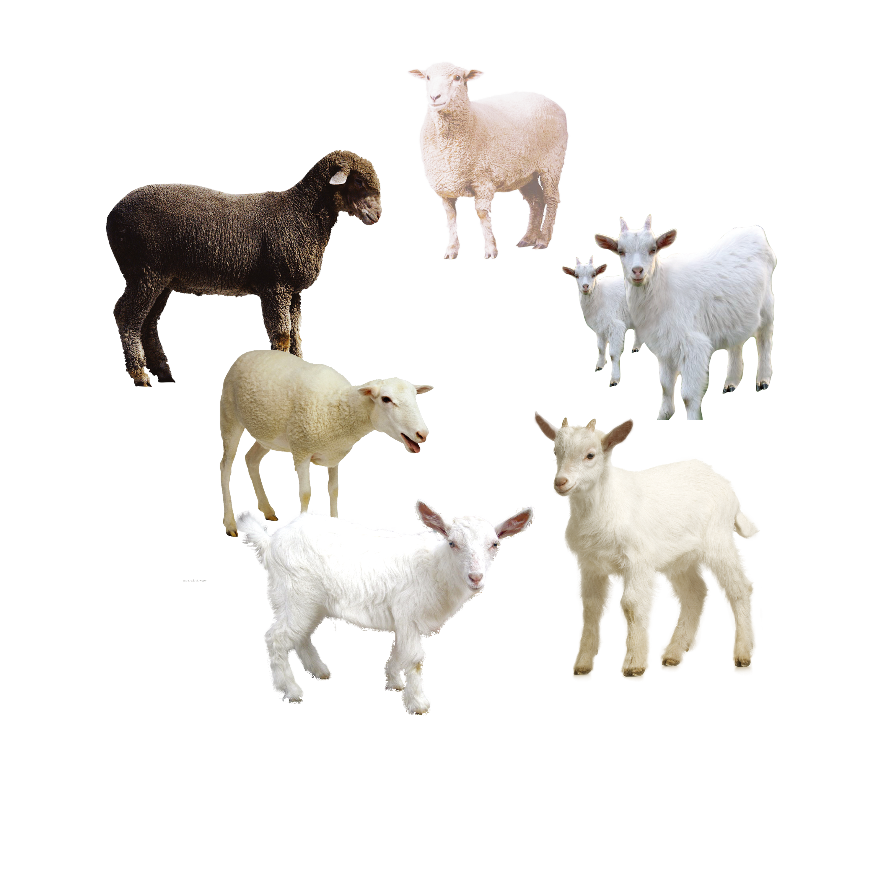 Herd of sheep png. Goat download icon album