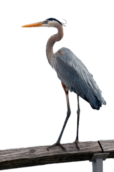 Heron vector great blue. Download free png drawing