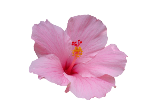 Pink hibiscus flower png. Transparent pinterest and
