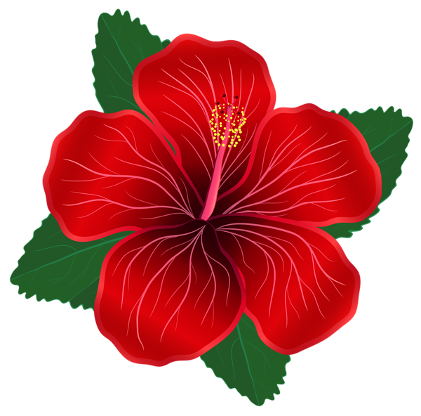 Hibiscus bush png. Red flower clipart image