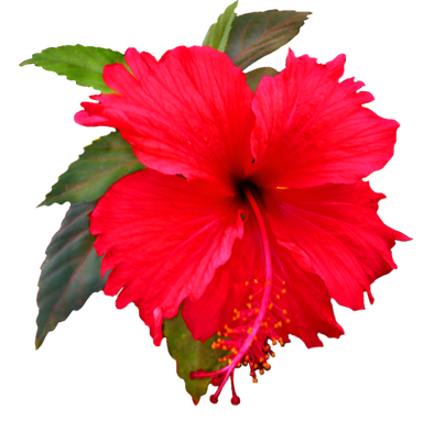 Beautiful red trans back. Hibiscus flower png svg transparent stock