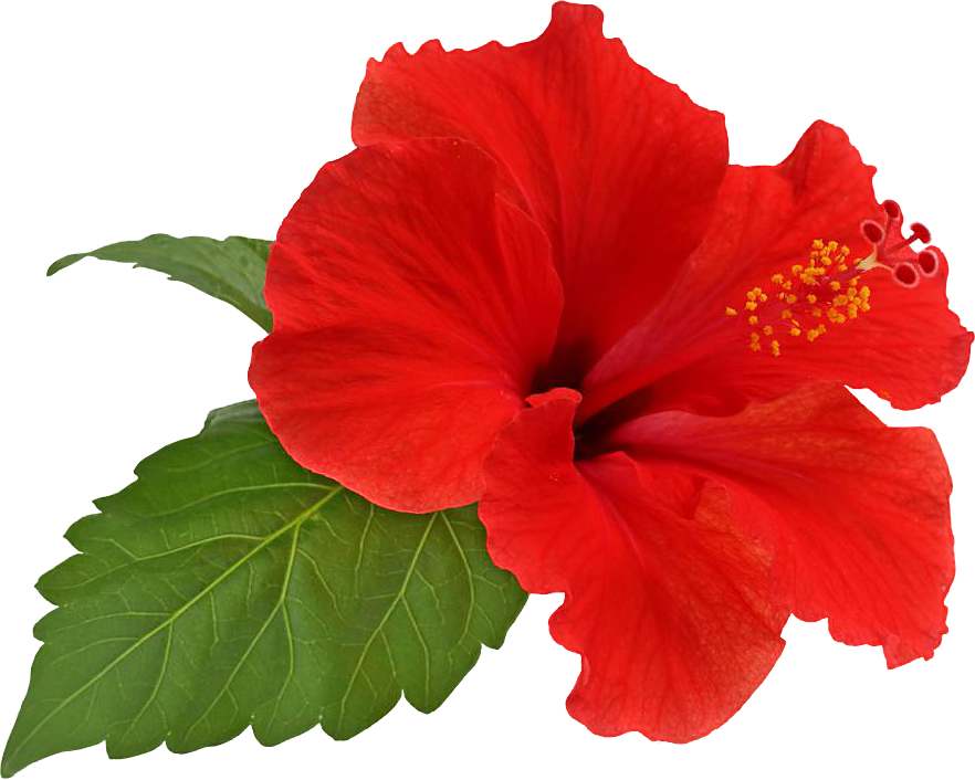 Bloom by hrtddy on. Hibiscus flower png graphic library download