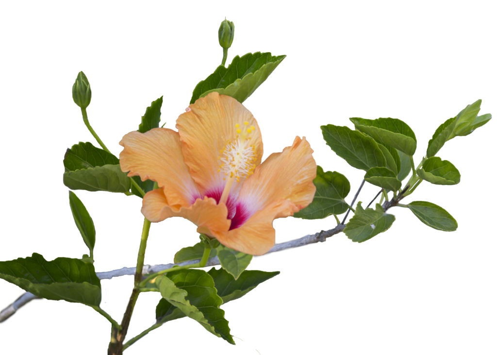 Hibiscus flower png free. Orange and leaves to