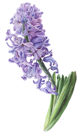 High definition hyacinth png image. Jade vector psd jpg
