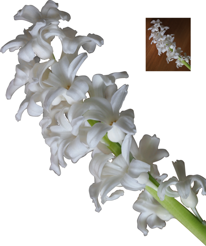High definition hyacinth png image. White flower blossoms by