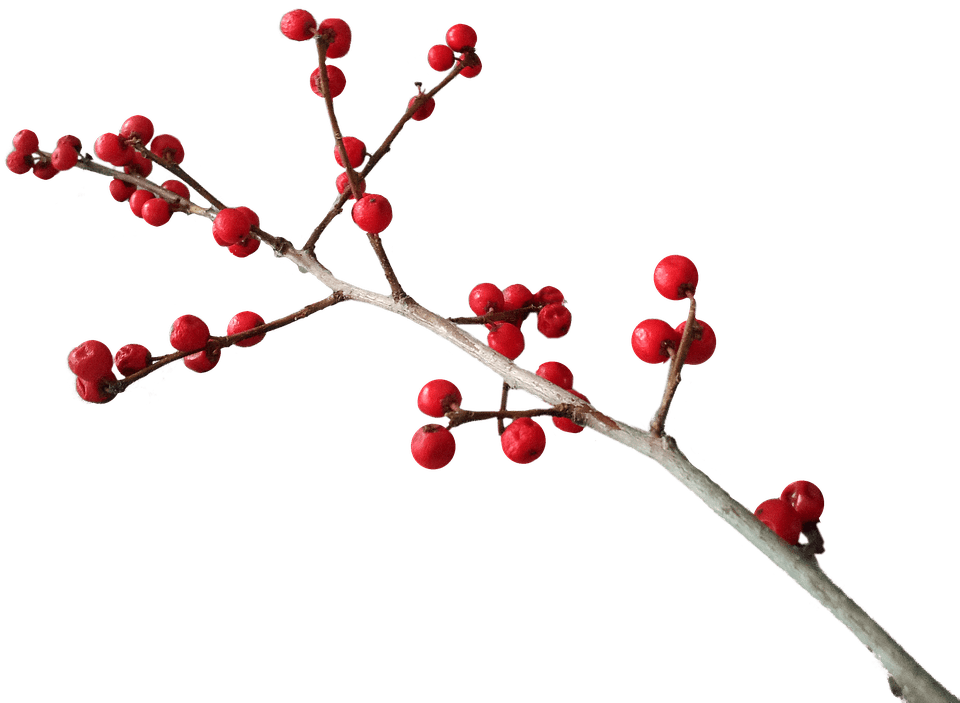 Holly branch png. Christmas decoration transparent stickpng
