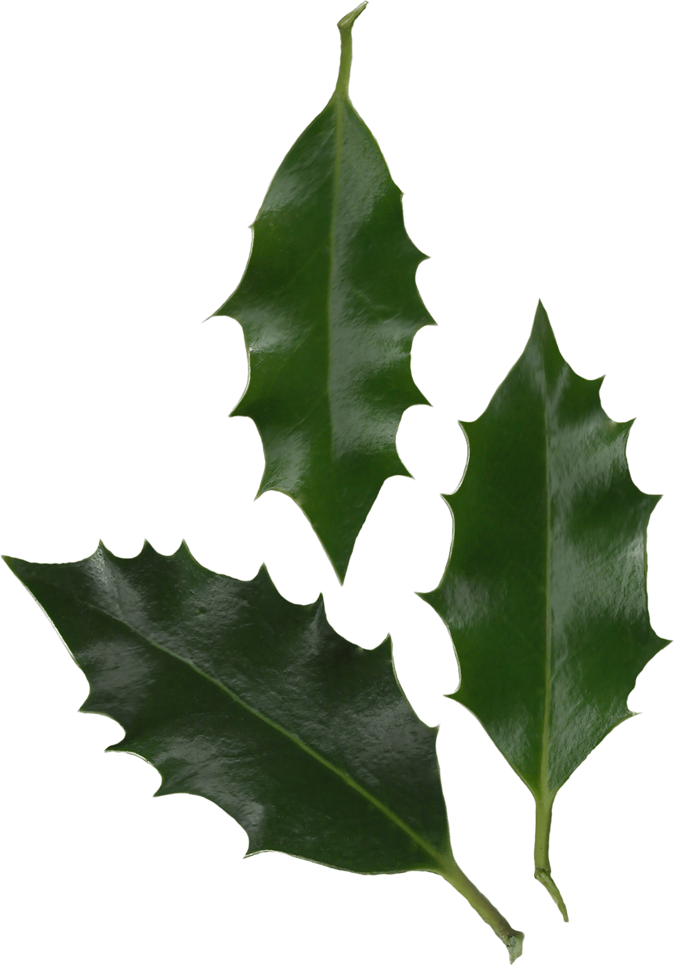 Holly leaves png. Photo transparent image mix