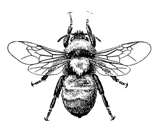 Honey bee drawing png. Image and dictionary definition