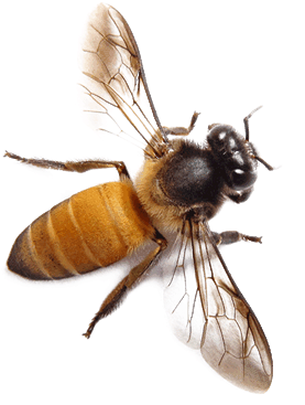 Bee png images all. Bees transparent black and white download