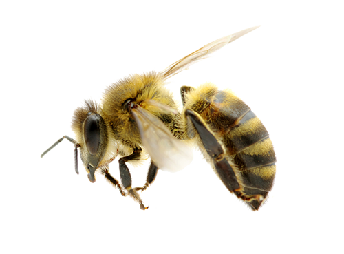 bee transparent png