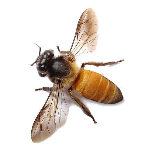 Bees transparent background. Bee png image free