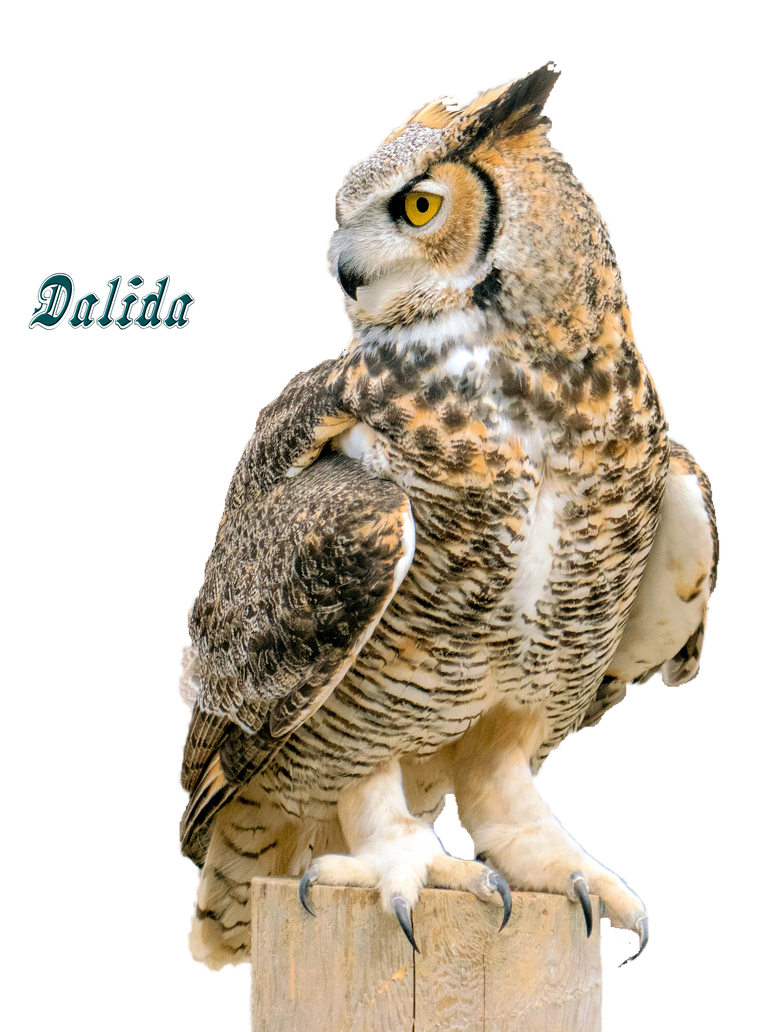 Horned owl png. Talons great by makiskan