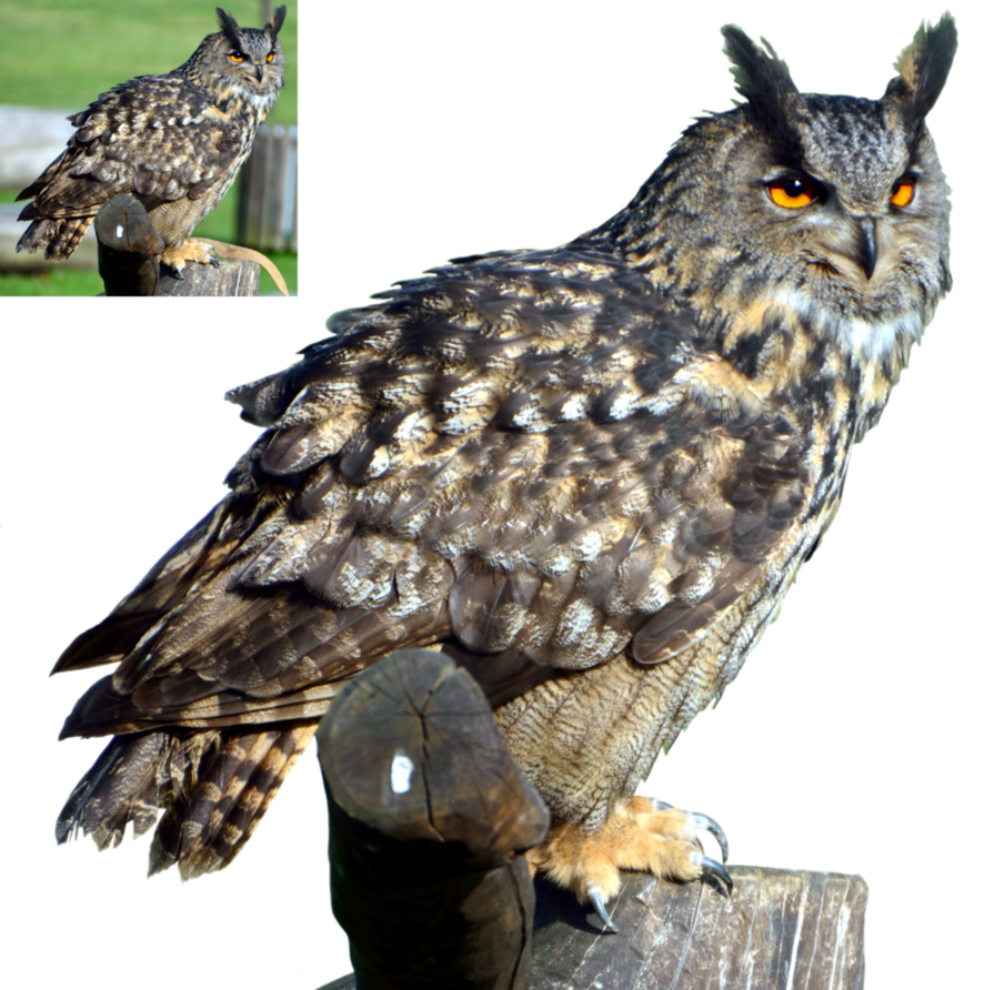 Horned owl png. Eagle by lumpi on