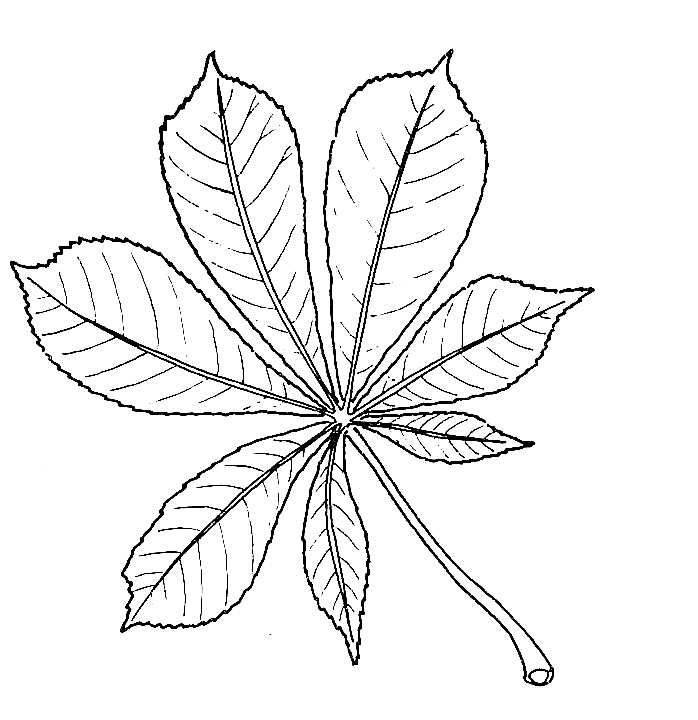 Horse chestnut. Drawing of leaf drawings