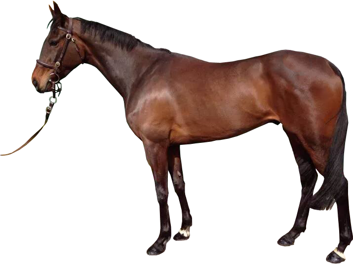 Horse transparent png. Tan image brown with
