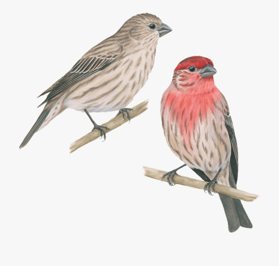 House finch. Celebrate urban png free
