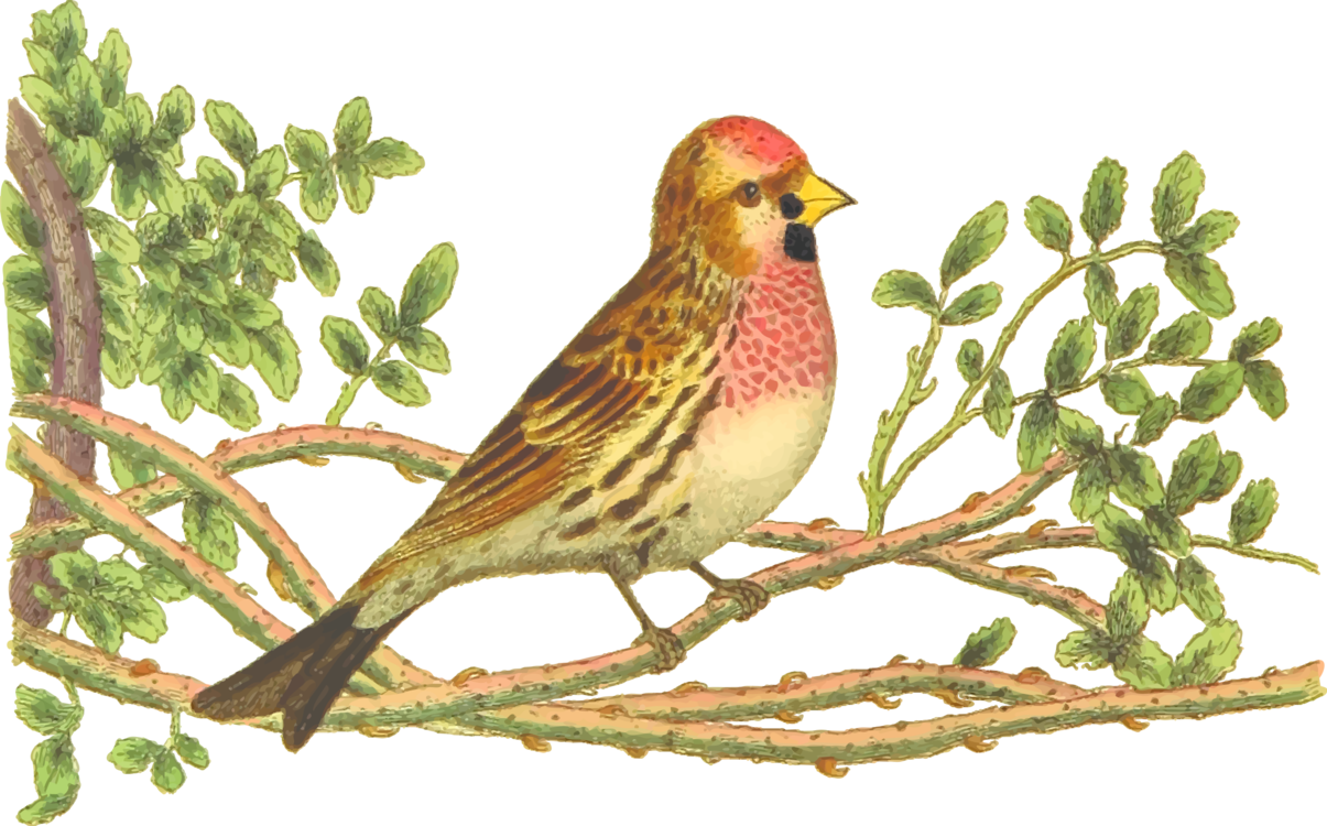 House finch. Perching bird png clipart