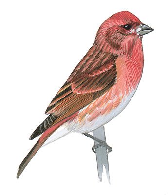 House finch. Priority bird species audubon