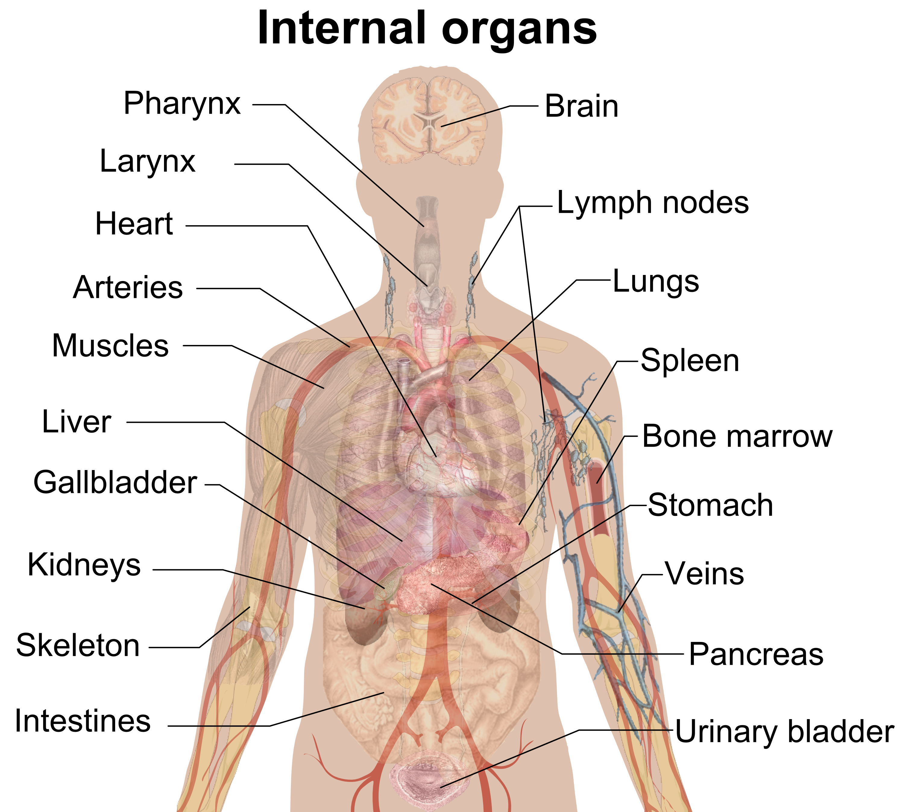 Neck clipart body part. File internal organs png