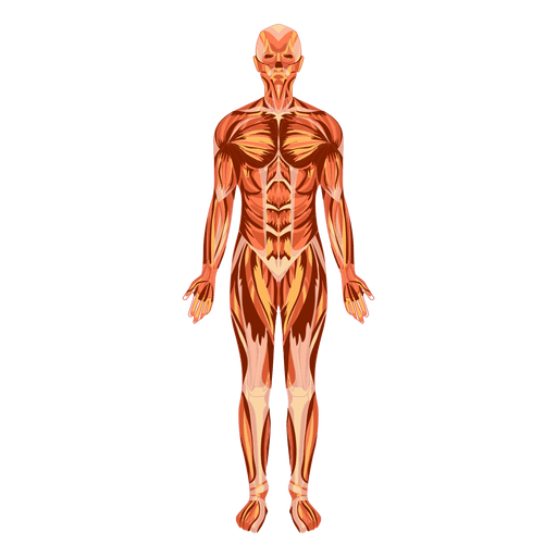 Vector pict human. Muscular system anatomy body