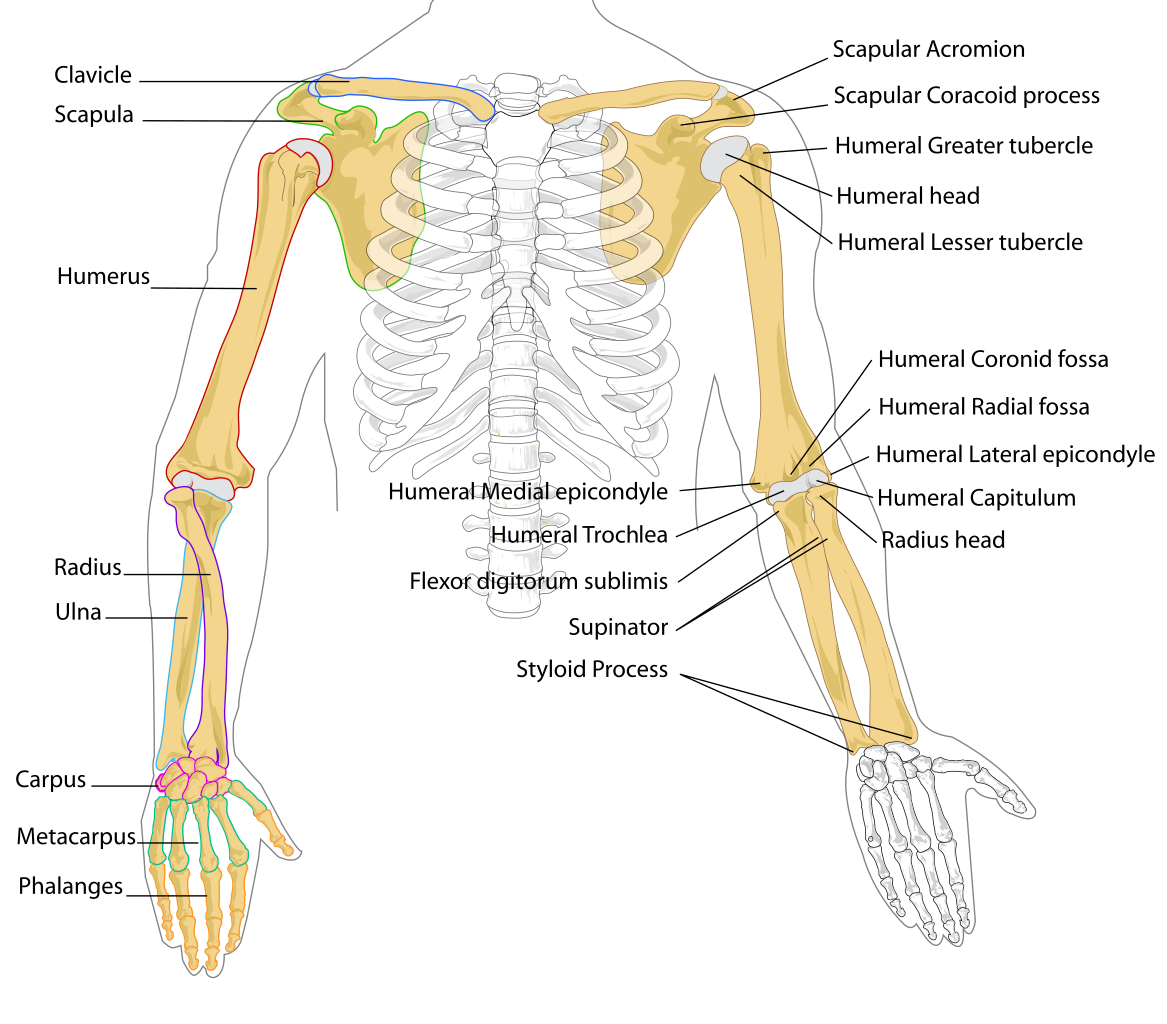Transparent bone unlabeled. File human arm bones