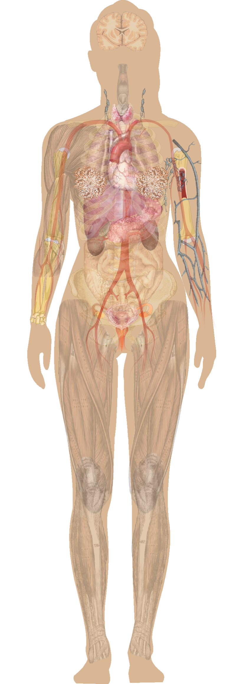 Anatomy Vector Full Body Transparent Png Clipart Free Download