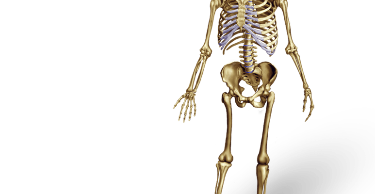 Human bone png. Bones illustration archives medical