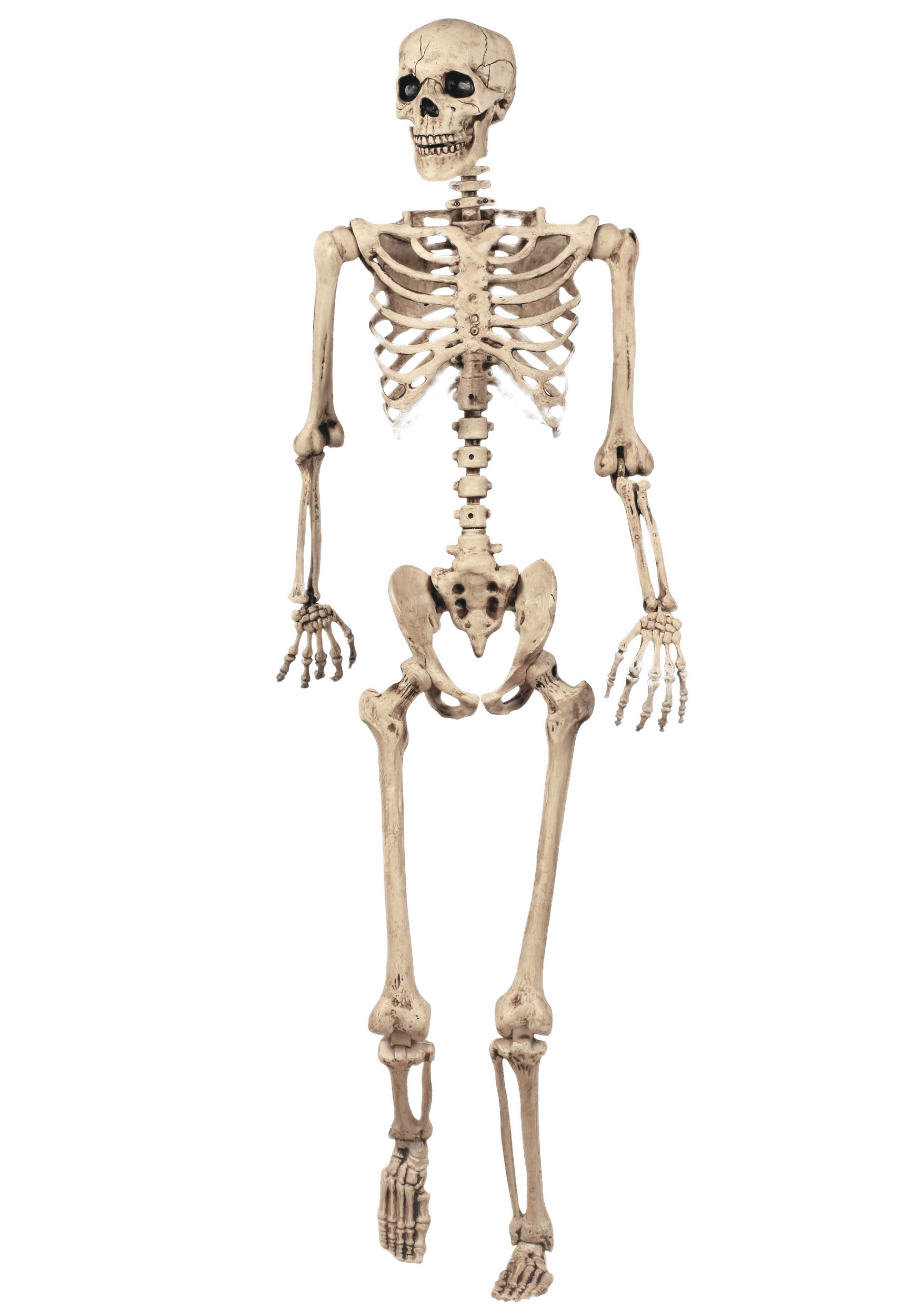 Human bone png. Full skeleton model transparent