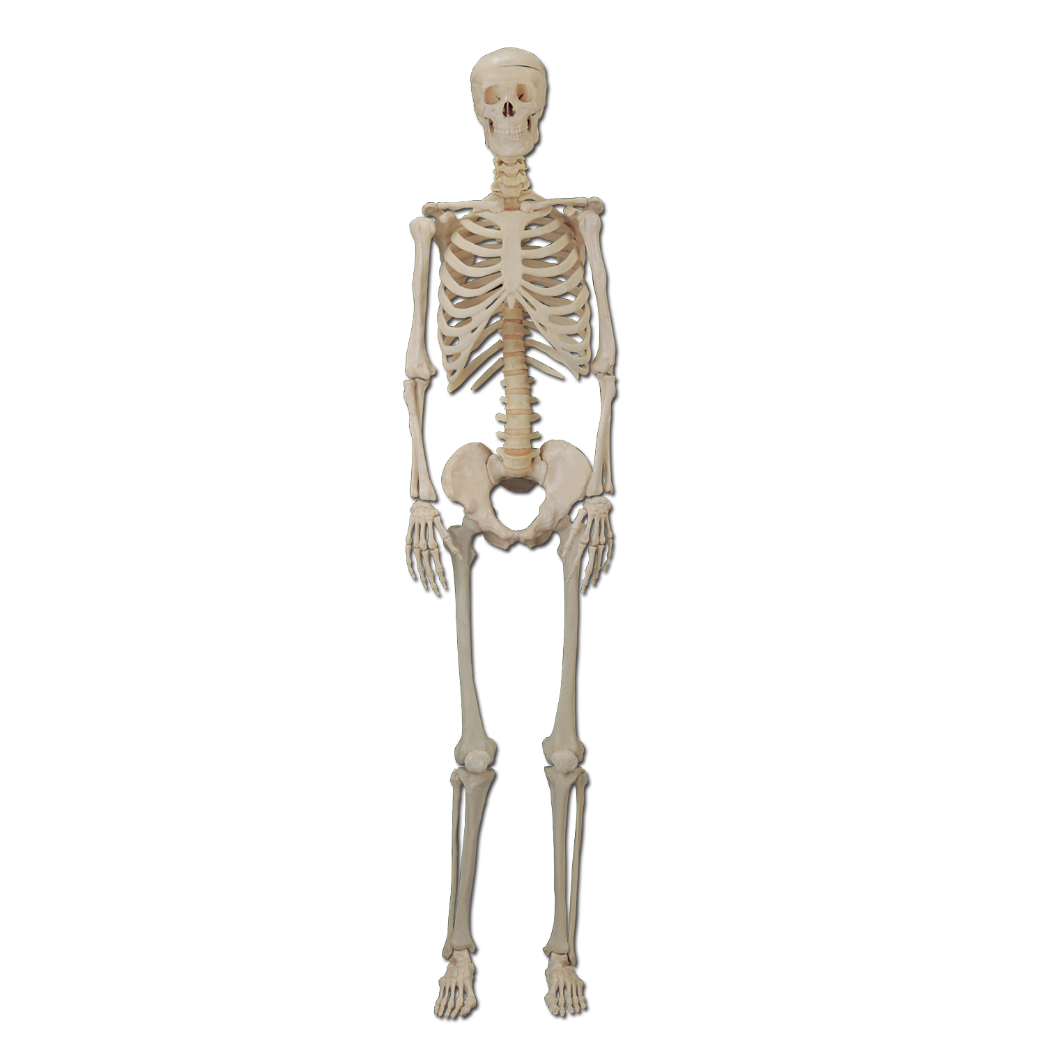 Human bone png. Skeleton body organ transprent