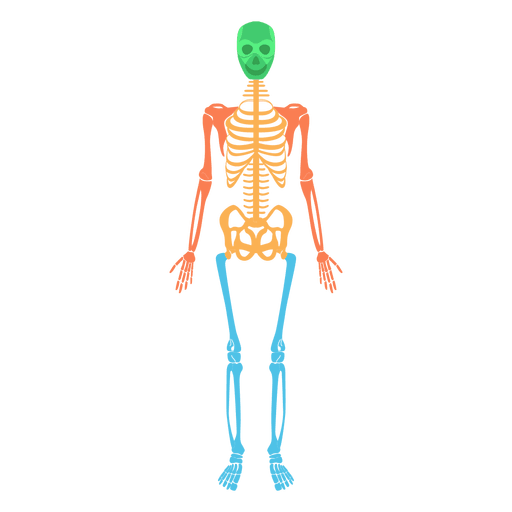 Human bones png. Skeletal system body colored