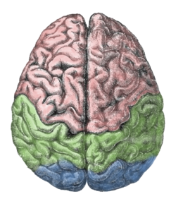 Brain anatomy. Human wikipedia and skull