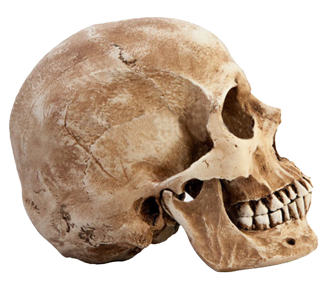 Skull png image purepng. Fossil clipart anthropology svg royalty free stock