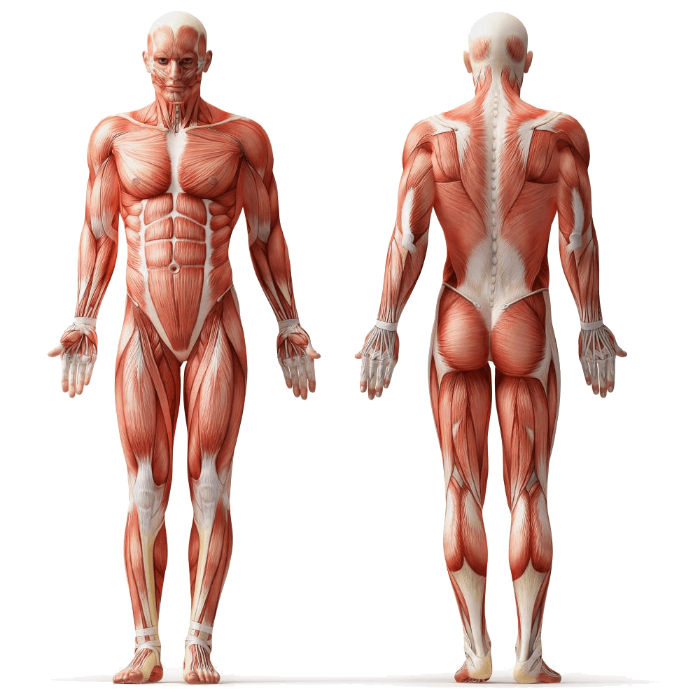 Muscle anatomy png. Human body muscular system