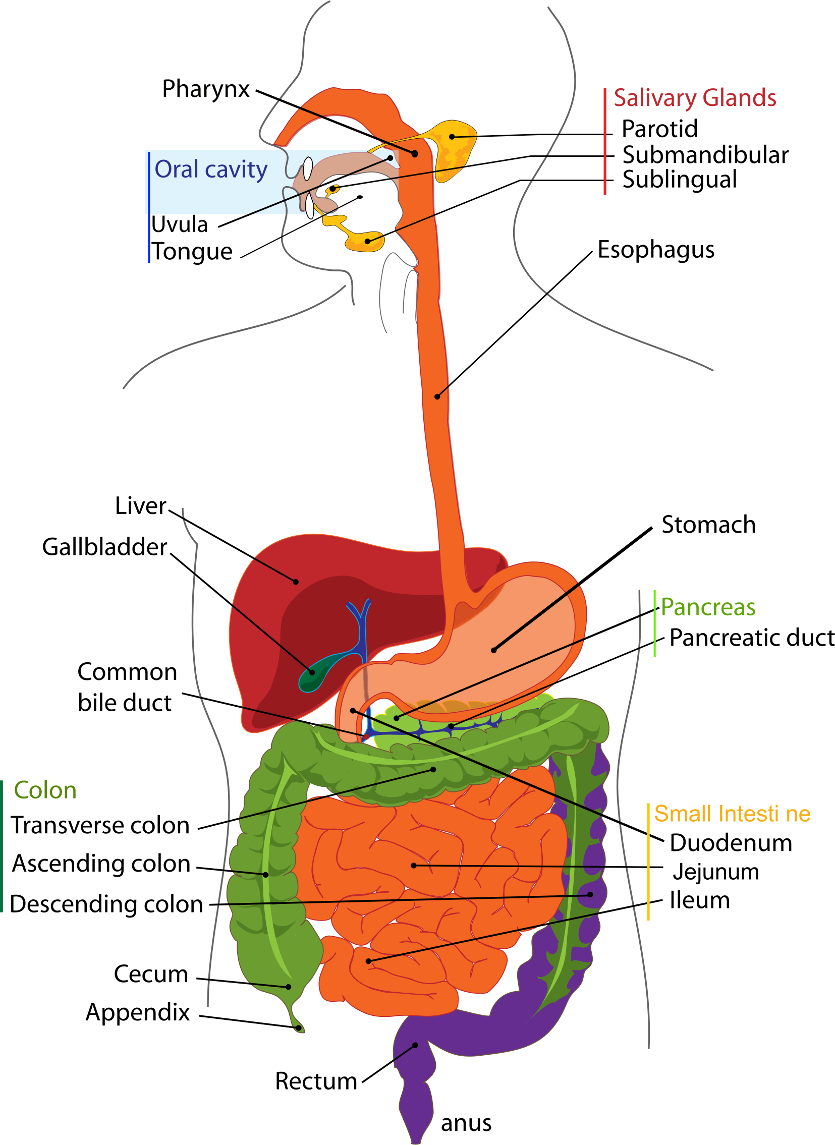Human digestive system png. Icons free and downloads