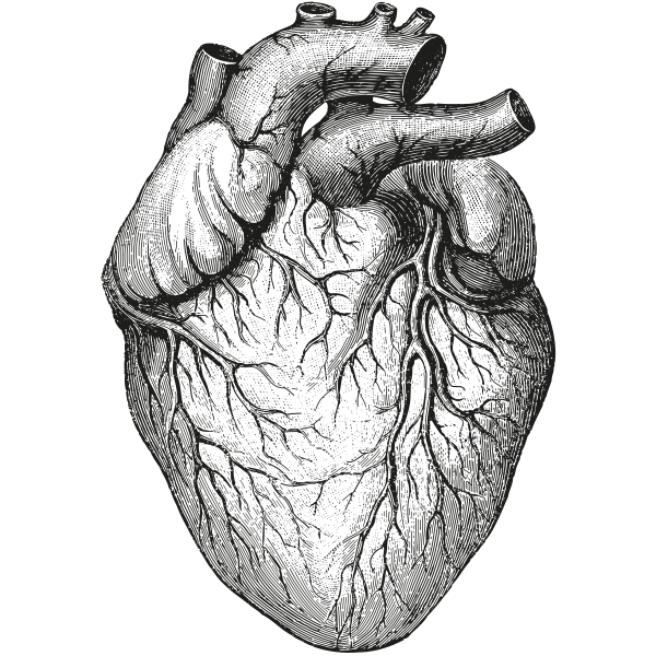 Human heart drawing png. Anatomy physiology ii organ