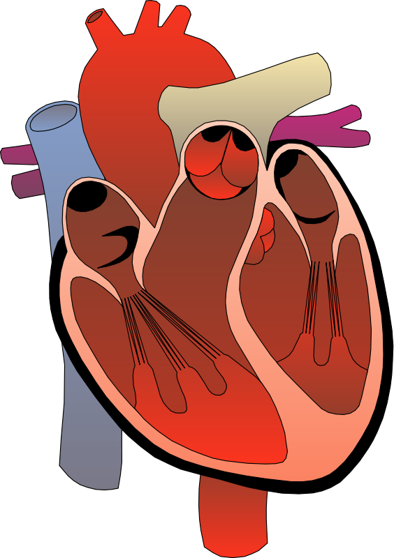 Human heart drawing png. Health free stock photo