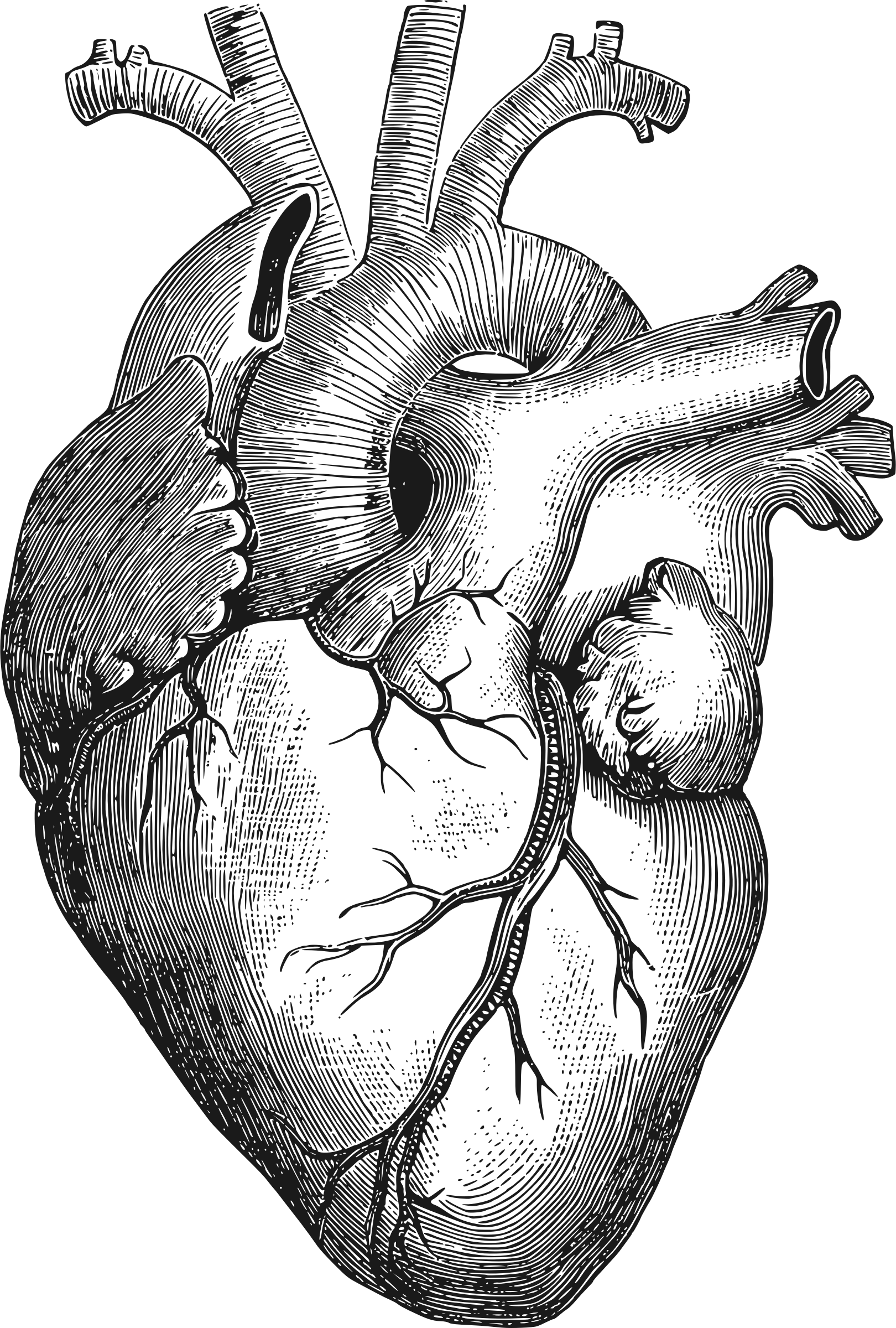 Human heart drawing png. Collection of high