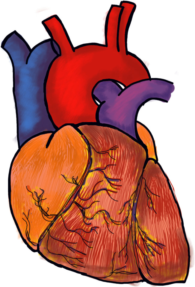 Human heart png. Download file image with