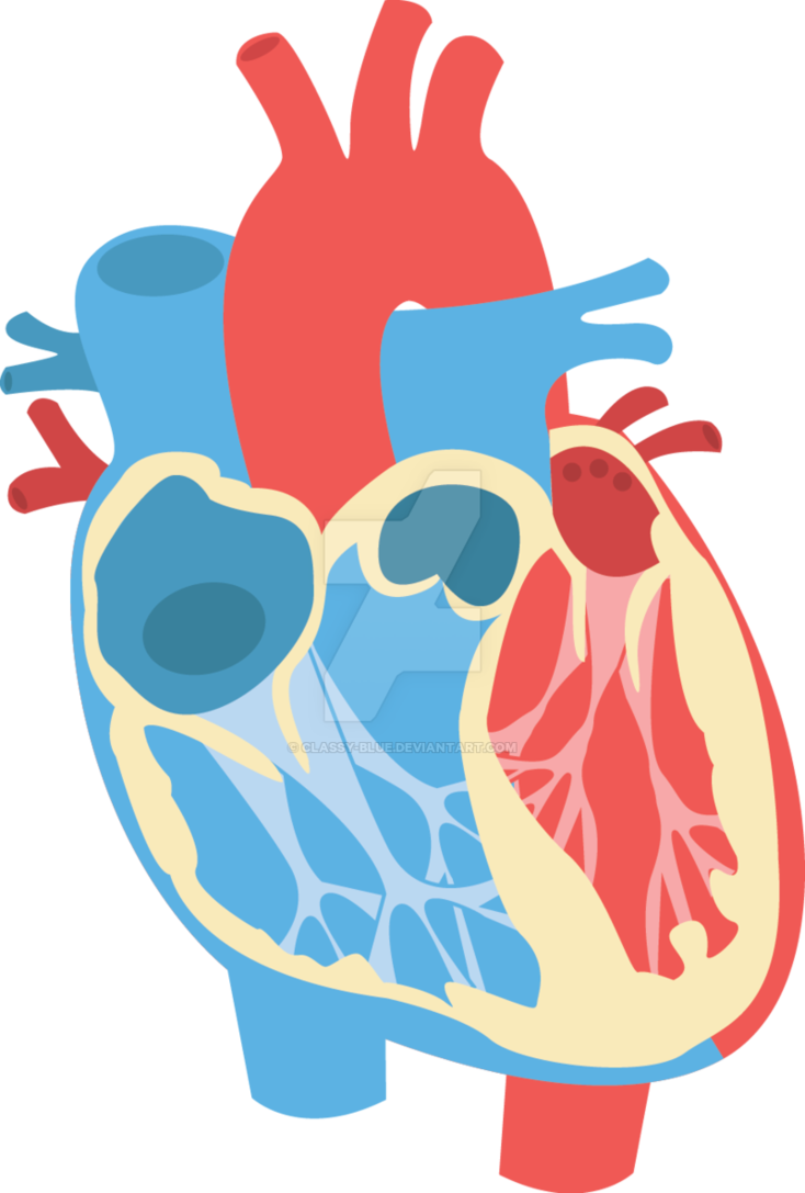 Human heart png. Diagram by classy blue
