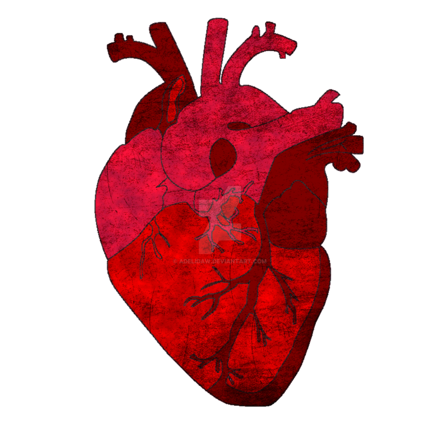Human heart png. By adelidaw on deviantart
