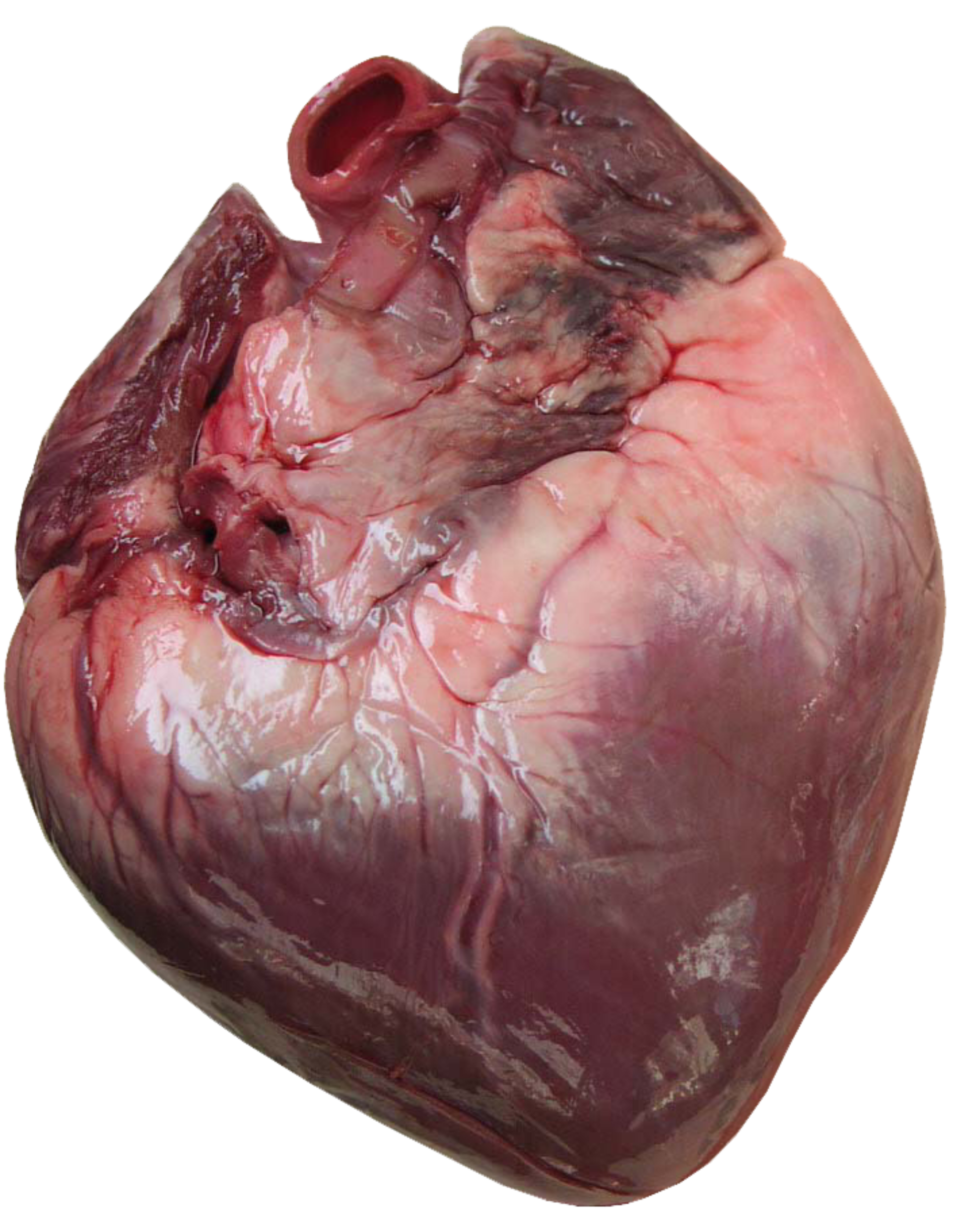 Human heart png. Getting to the of