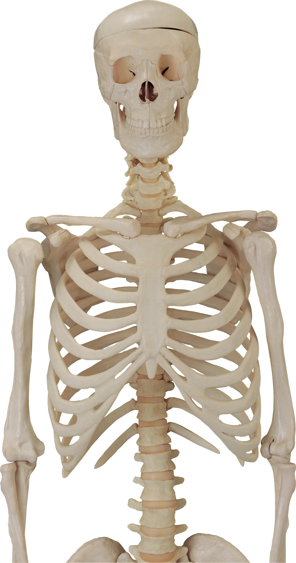 anatomy vector bone