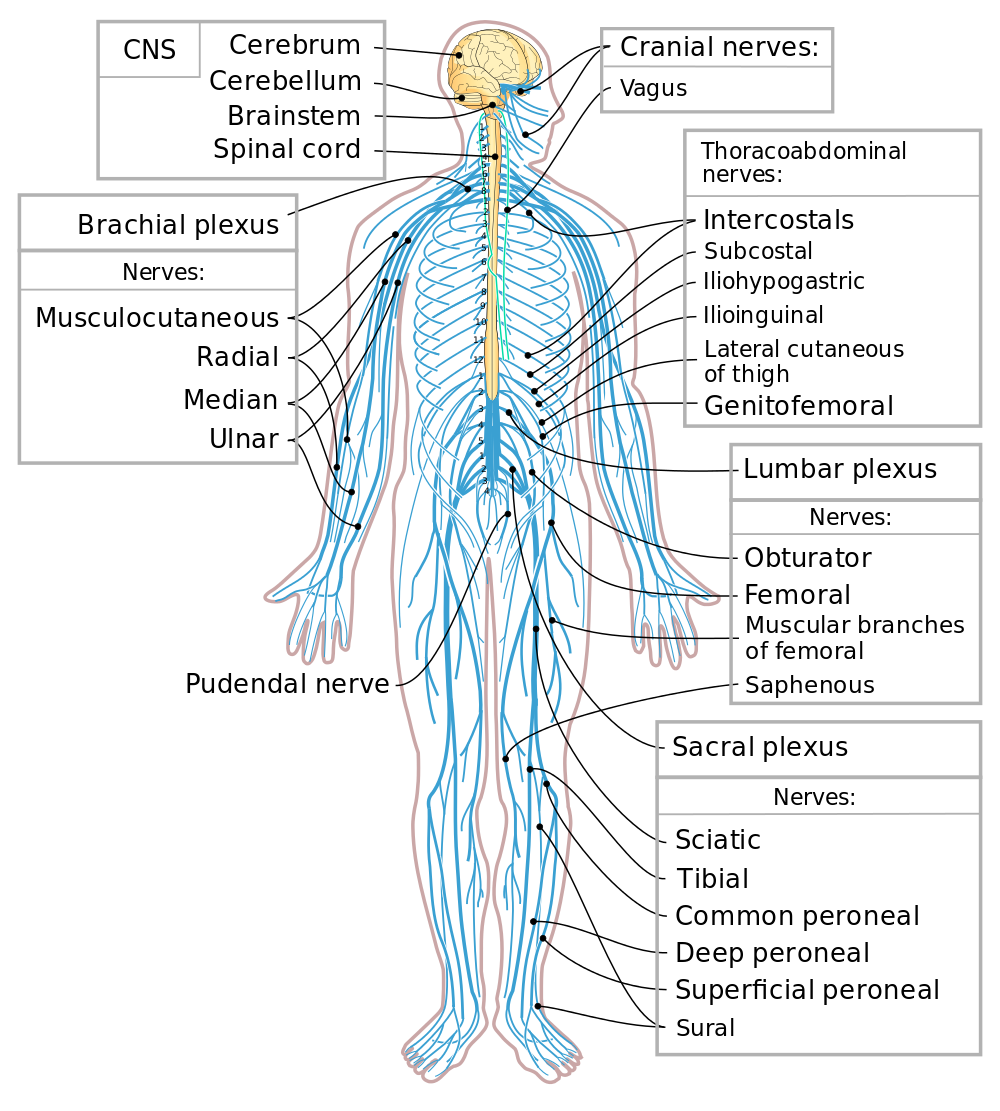 Human spine minimal png. Control systems biology for