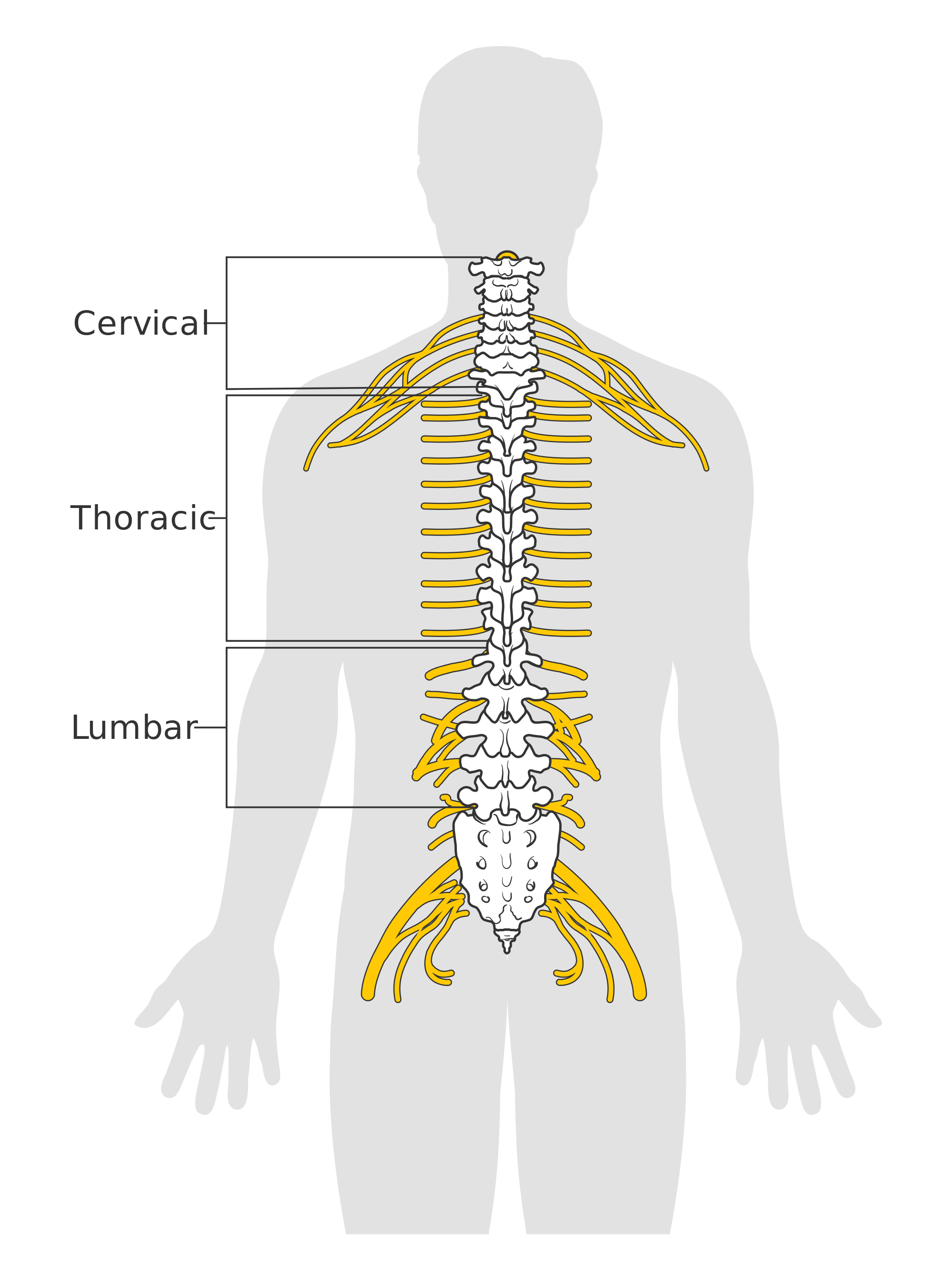Nerves of the spine png. File diagram spinal cord