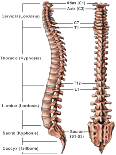 Spine bones png. Back and complete pain