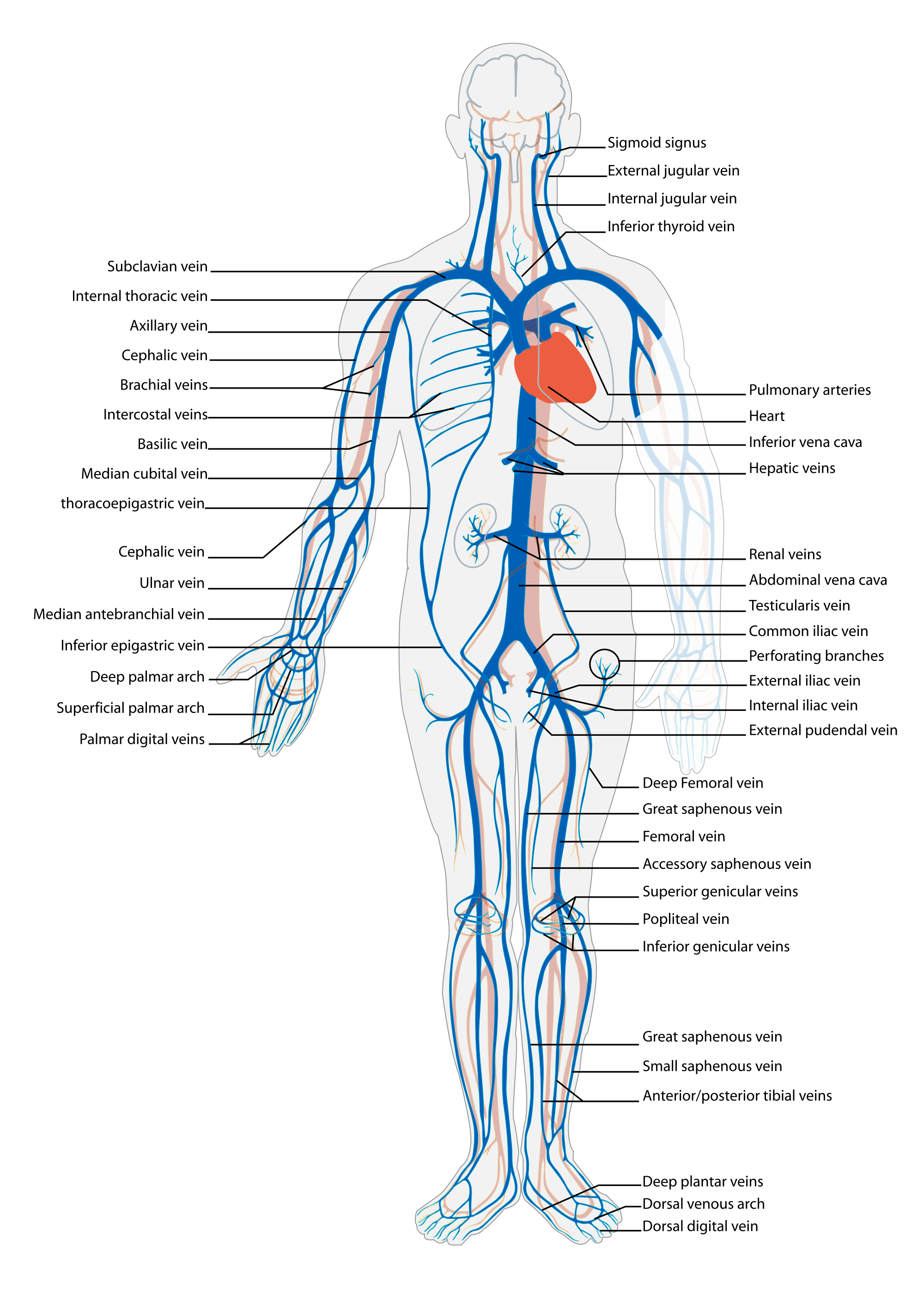 Human veins png. Vein wikipedia venous system