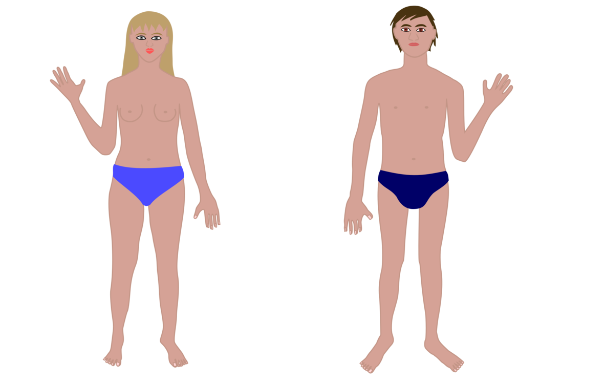 Stomach clipart waist. Human body organ puberty