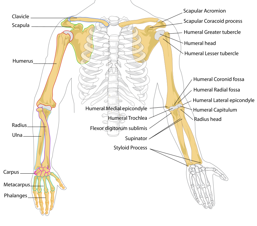 File human arm bones. Scapula drawing picture free
