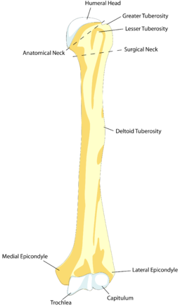 Transparent bone ulna. Fractured humerus the temple