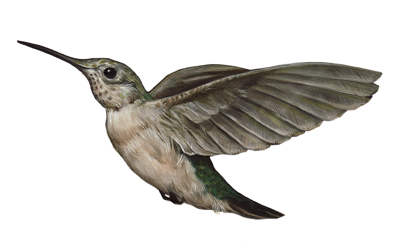 Png image with background. Hummingbird transparent clip royalty free download